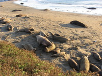 Pacific_coast_hwy_elephant_seal_beta_mal